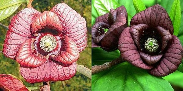 цветение азимины