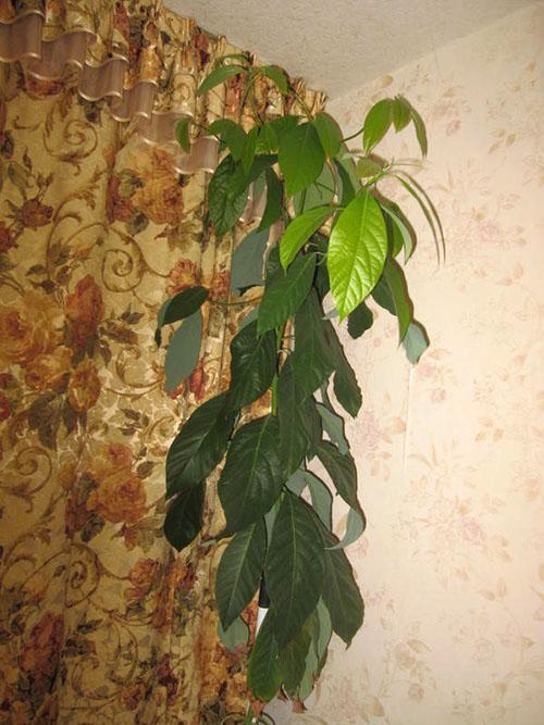Условия выращивания личи в домашних условиях 327