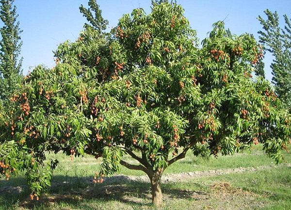 дерево личи в саду