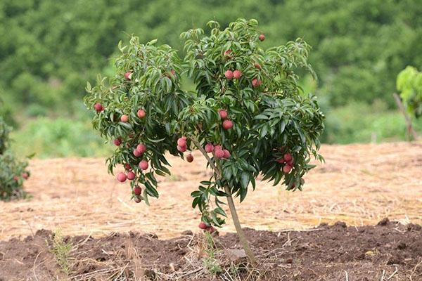 молодое дерево личи