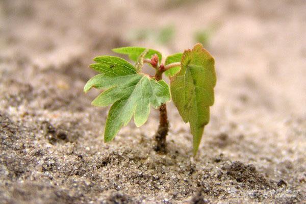 липа из семян