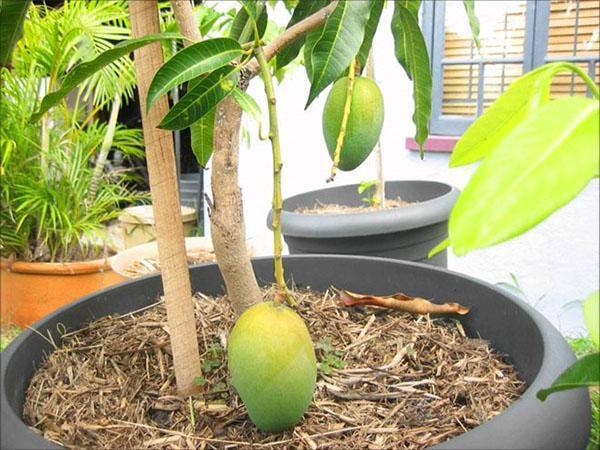 дерево манго в горшке