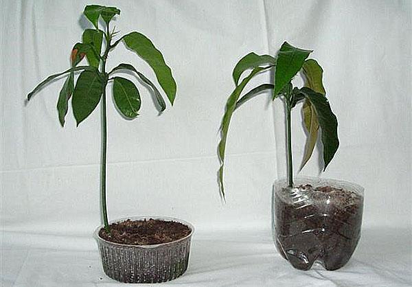 молодые растения из косточки манго