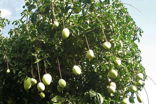дерево манго в Индии