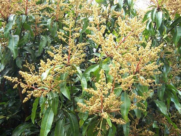 соцветия манго