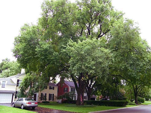 дерево вяз в парке