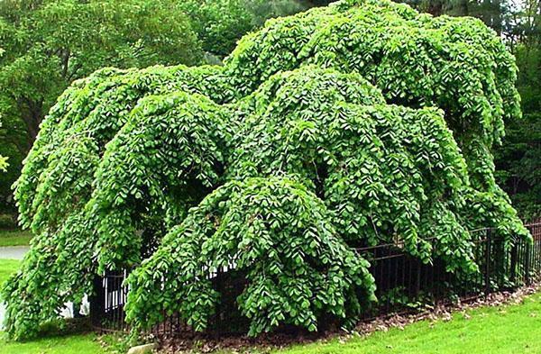 дерево с гибкой структурой волокон