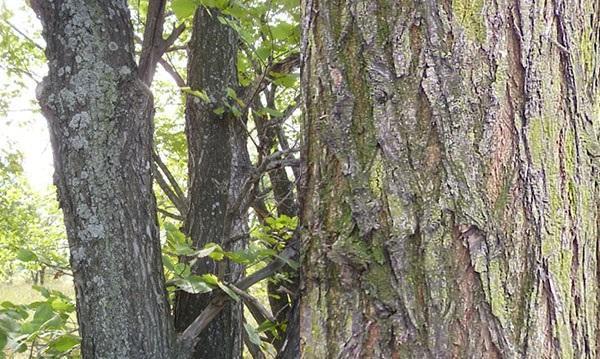кора дерева вяз