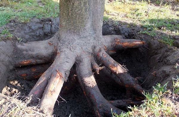 корни ясеня