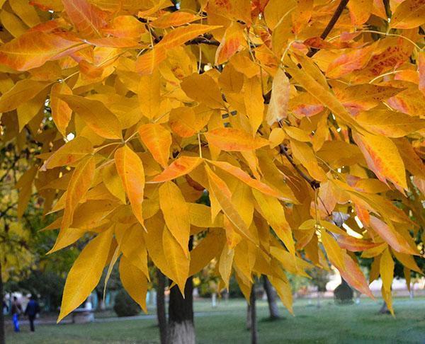 листва ясеня осенью