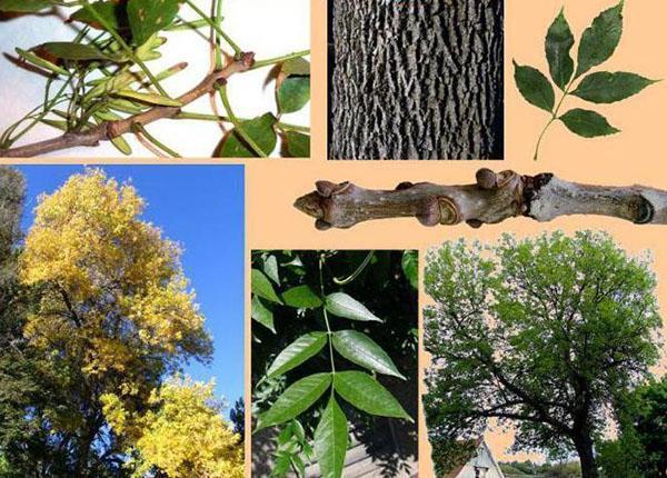 элементы дерева ясень