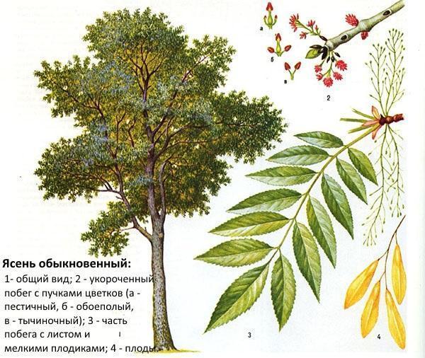 ясень обыкновенный