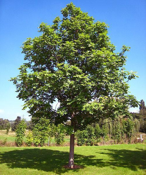 высокорослое дерево ясень