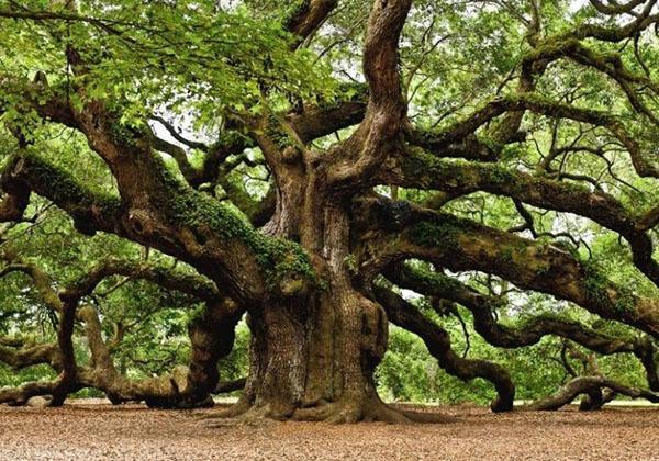 взрослый дуб