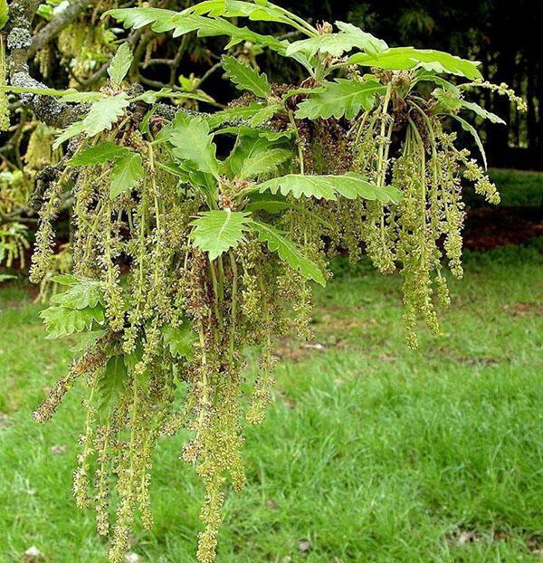 крупнопыльниковый дуб