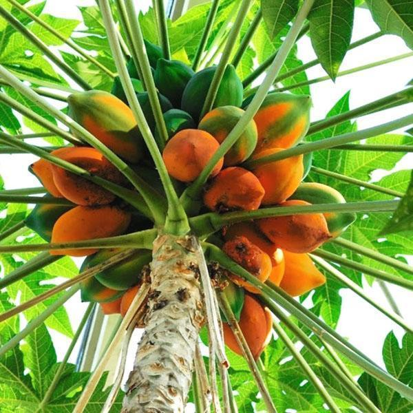 дынное дерево папайя
