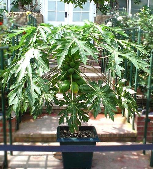 плодоносит папайя в домашних условиях