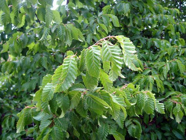 ветки и листья