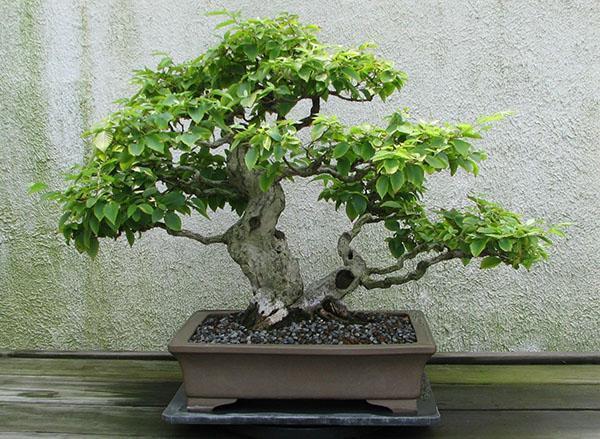 дерево граб бонсай