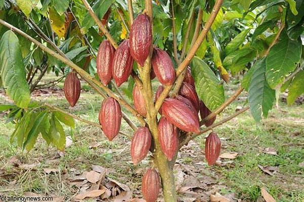 какао сорт тринитарио