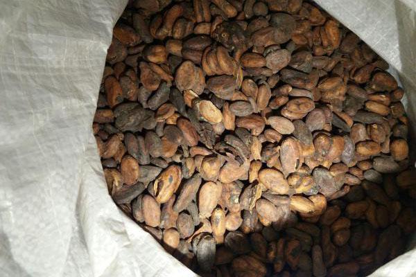 какао сорт форастеро