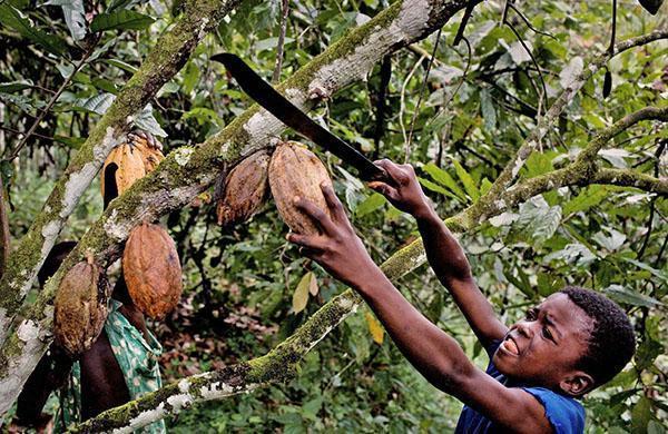 сбор плодов какао