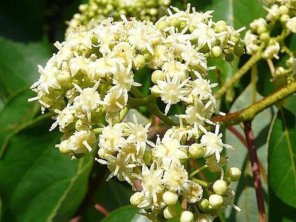 цветет конфетное дерево