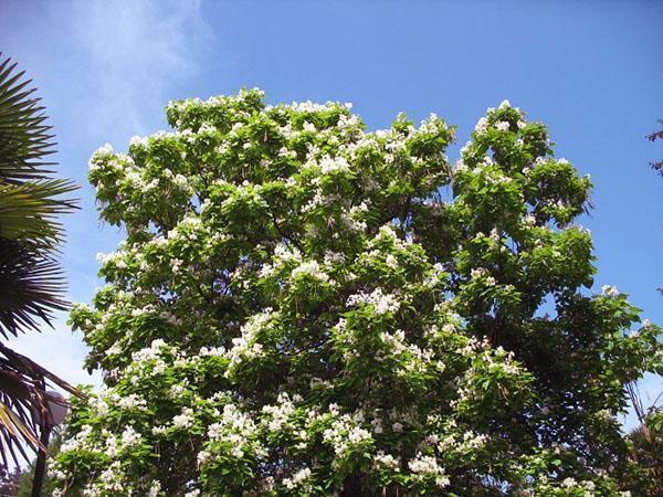 цветущая крона конфетного дерева