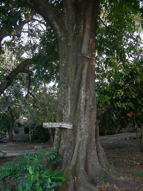 уникальное дерево