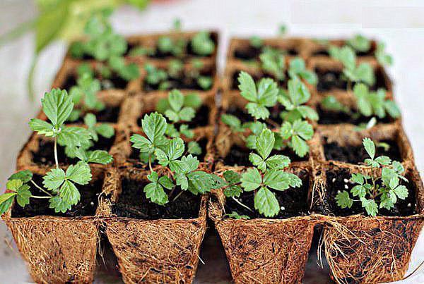 Как вырастить рассаду клубники из своих семян 500