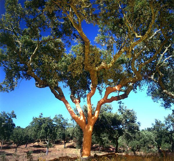 взрослое пробковое дерево