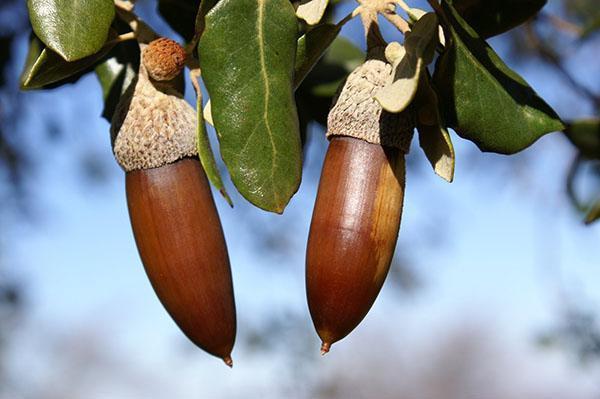 плоды пробкового дерева
