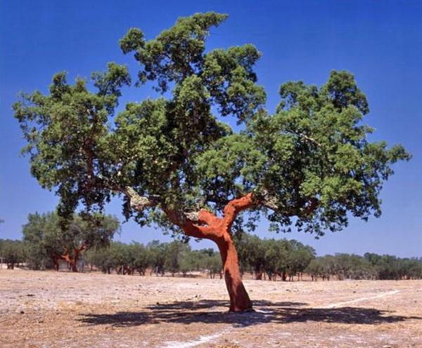 пробковое дерево в дикой природе