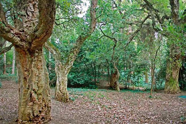 плантация пробкового дерева
