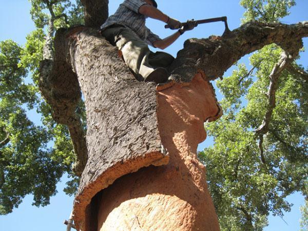 сбор коры пробкового дерева