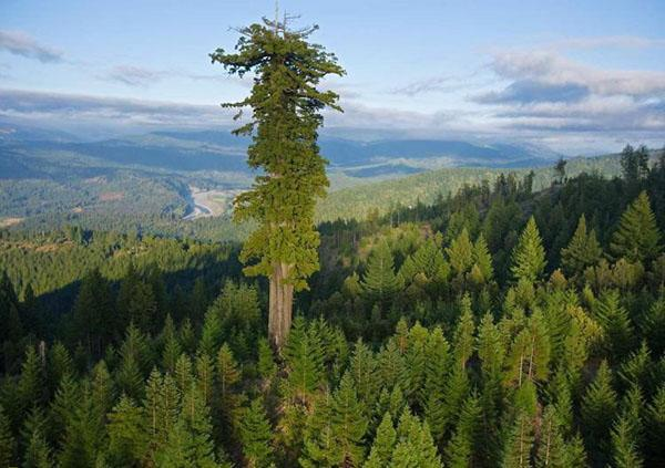 дерево секвойя