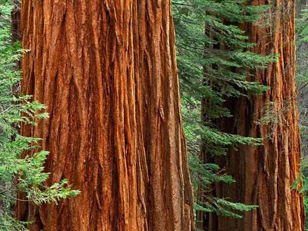 красная древесина