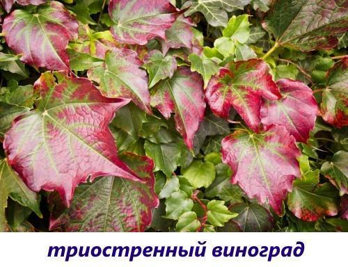 триостренный виноград