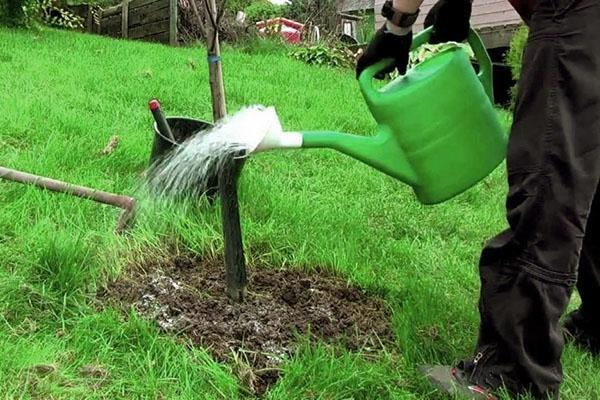 полив тутового дерева