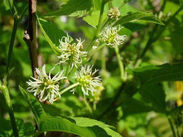 цветет шелковица