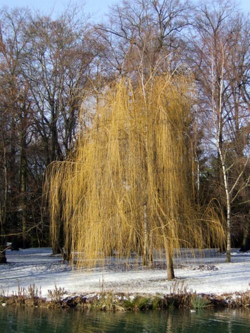 ветла зимой