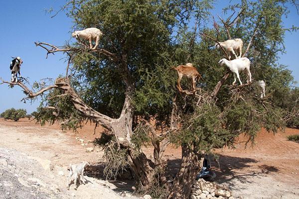 козы на аргании
