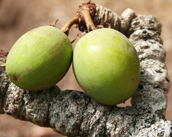 плоды ши
