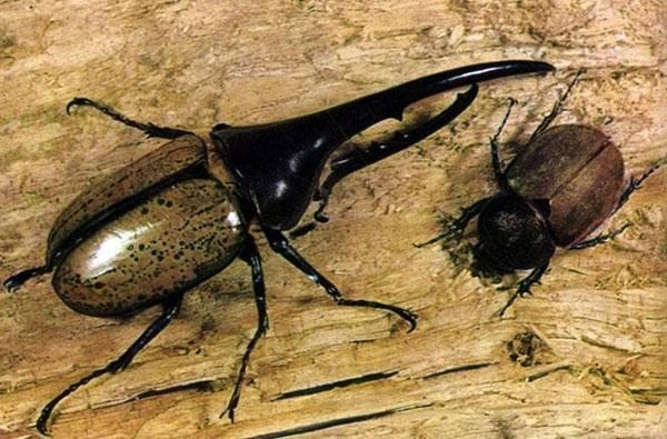 жук внушительных размеров