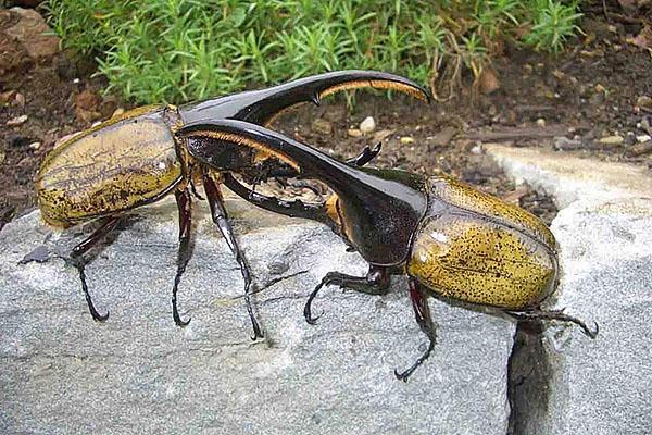 взрослые особи жуков геркулес