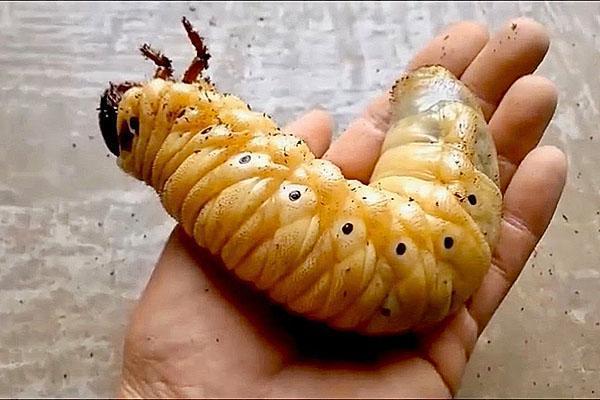 личинка жука геркулеса