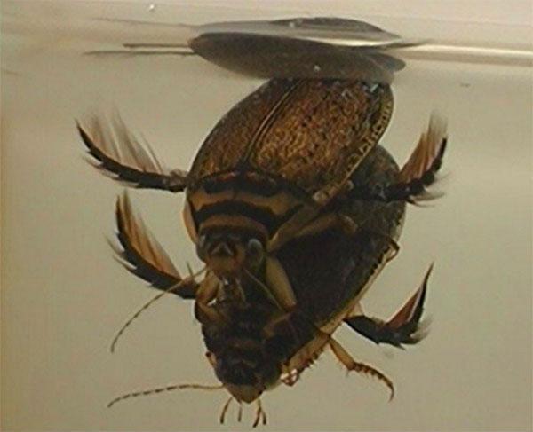 самка и самец жука