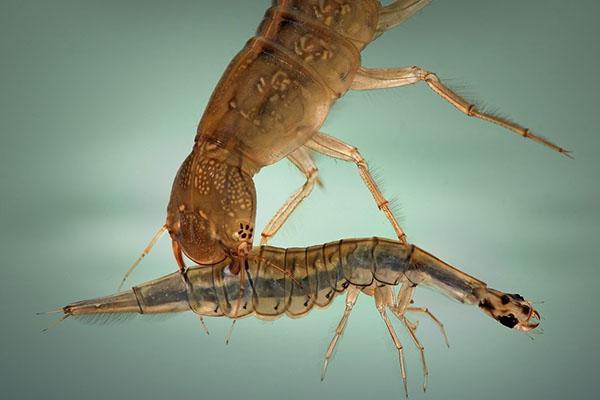 этап роста жука-плавунца