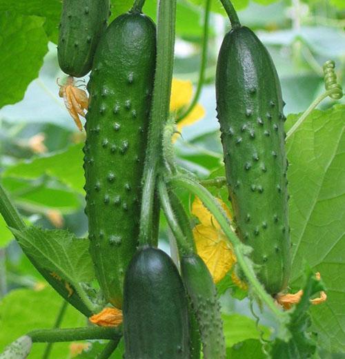 урожай сорта Емеля