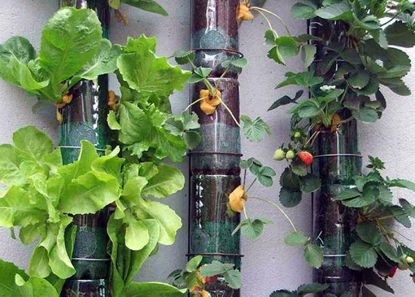 клубника и салат на вертикальной грядке
